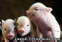 Вклад ЗАО «Мичуринской свиноводческой компании» в развитие АПК региона.